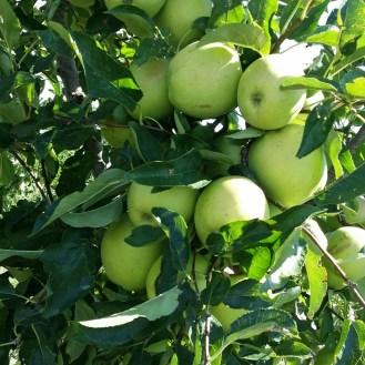 Pommes du Pilat...