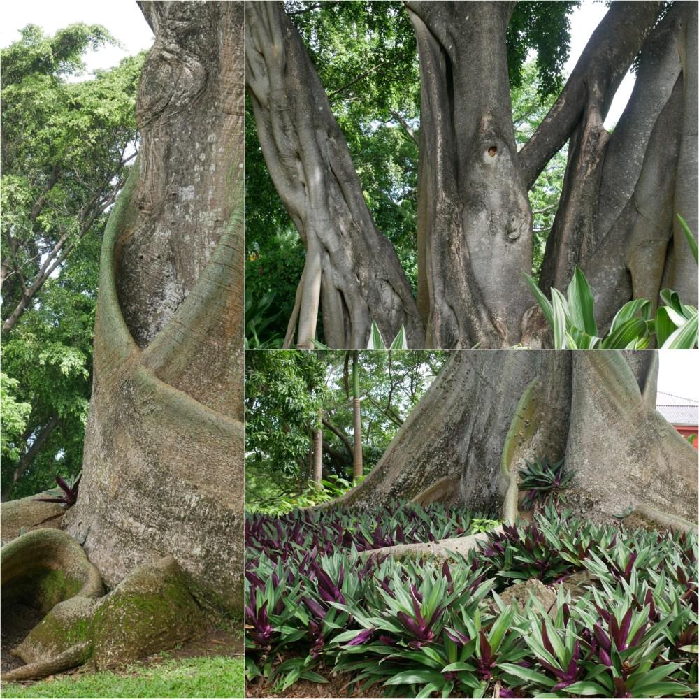 Acomat boucan [pouvant atteindre 40 mètres] et Rhoeo Spathacea [ou appelée  Misère car elle pousse en tous sols. Plante rampante].