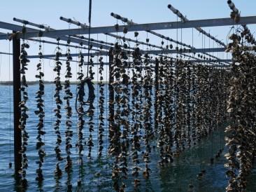 Les huîtres adolescentes sont collées sur les fils