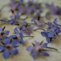 [Cueillette!] Fleurs de bourrache.