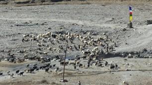 Beaucoup de troupeaux (yaks, chèvres, etc.) aux alentours de Manang