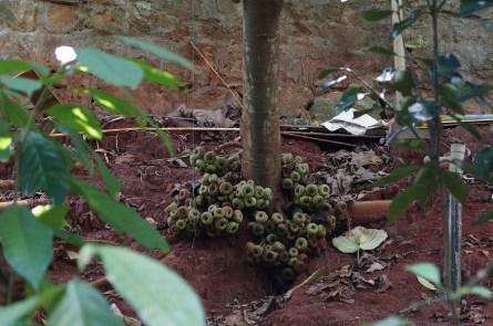 Ces champignons sont en fait des figues