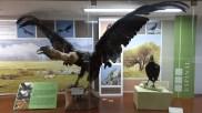 Dans le musée des sciences naturelles, un condor dans la vitrine