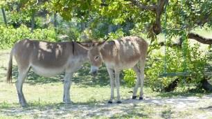 Même les ânes ont trop chaud!