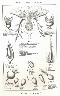 1906 Manuel pour la description des rosiers Pl3_wp