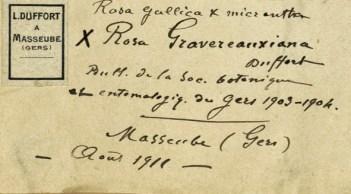 Rosa Gravereauxiana (Herbier Museum Paris) 2722189 détail_wp