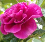 Roseraie de L'Hay (wc7169012377)a_wp