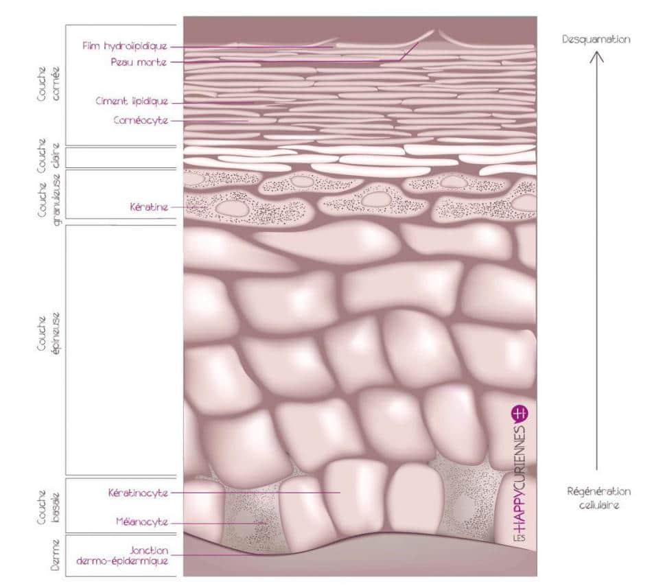 Epiderme et les couches de la peau
