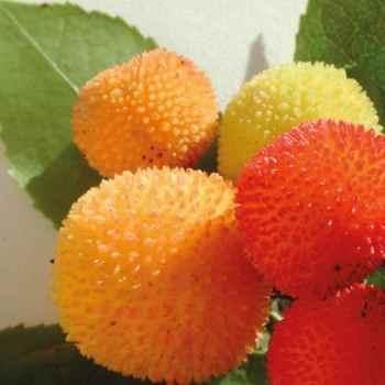 L arbousier, riche en antioxydants, dans nos soins bio et vegan, La Joyeuse et L Optimiste