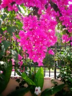 More Bougainvilliea