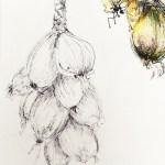 dessin-oignon-roscoff-10l
