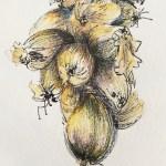 dessin-oignon-roscoff-9l