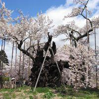 Les 3 cerisiers géants du Japon