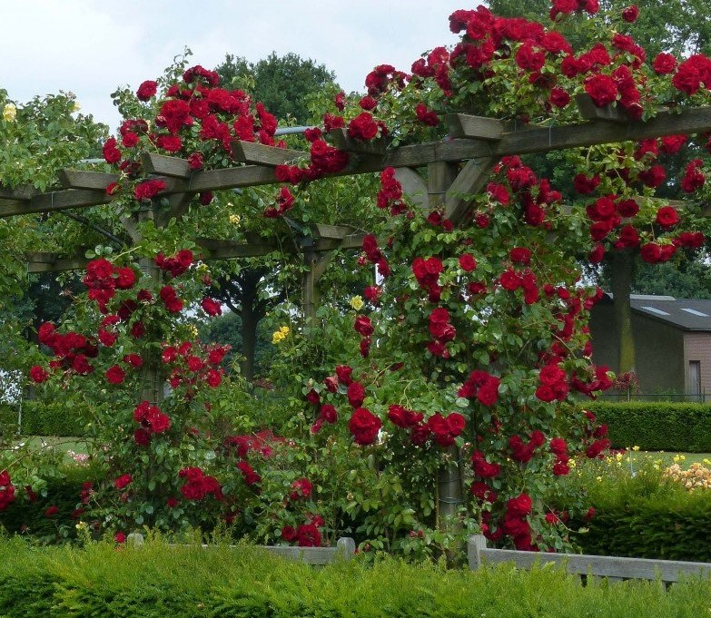 quels rosiers pour fleurir une pergola