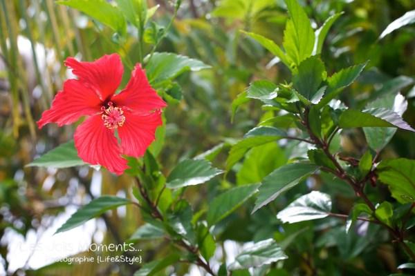 hibiscus rouge Martinique