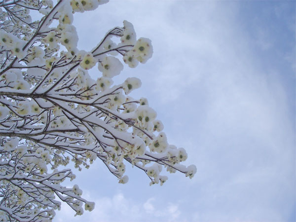 snowyblossoms