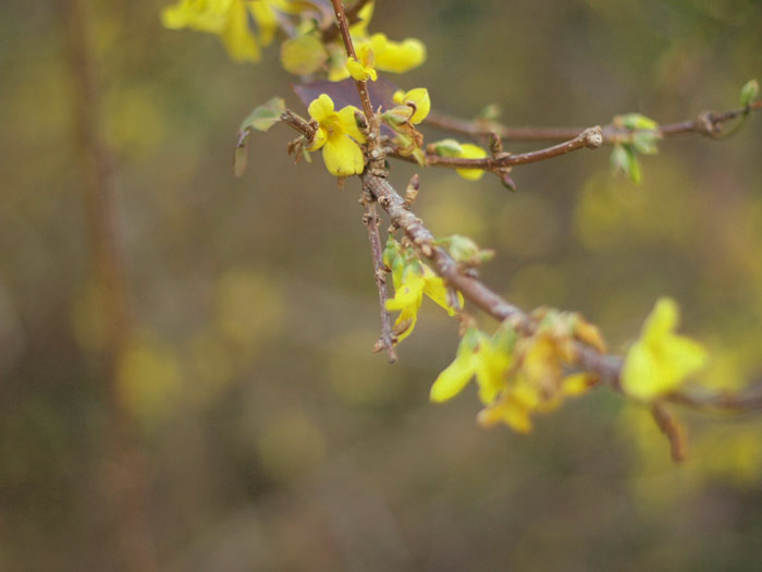 novemberforsythia