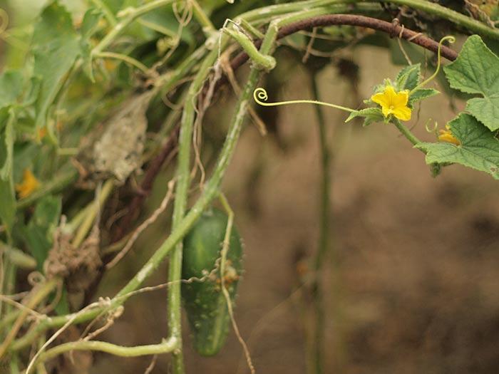 cukeflower