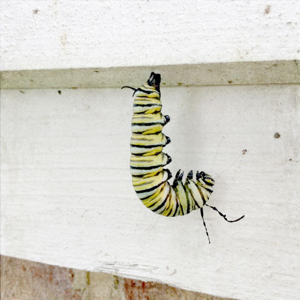 monarch-bending