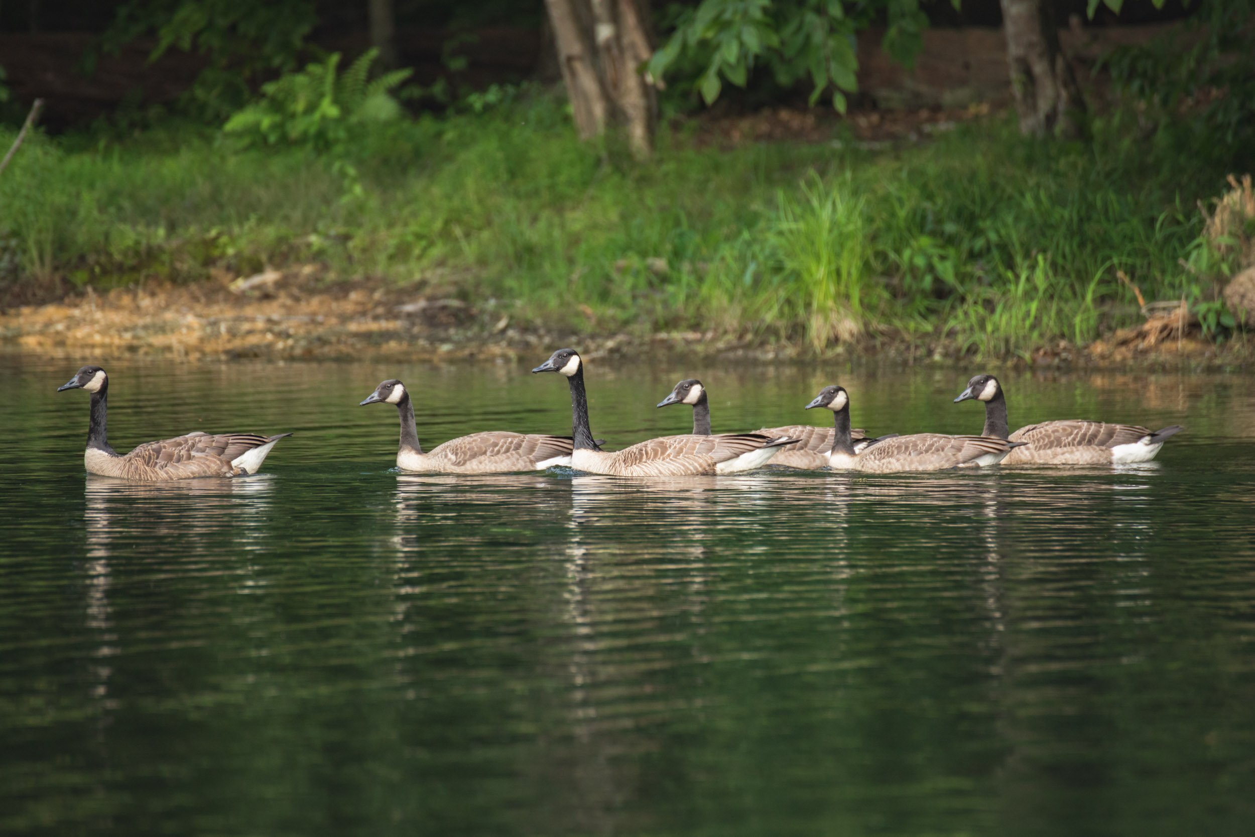 Geese at Cunningham Falls State Park