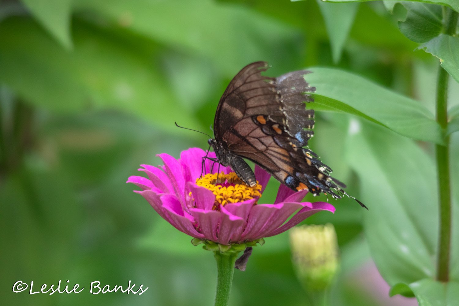 Swallowtail Butterfly Drinking Nectar