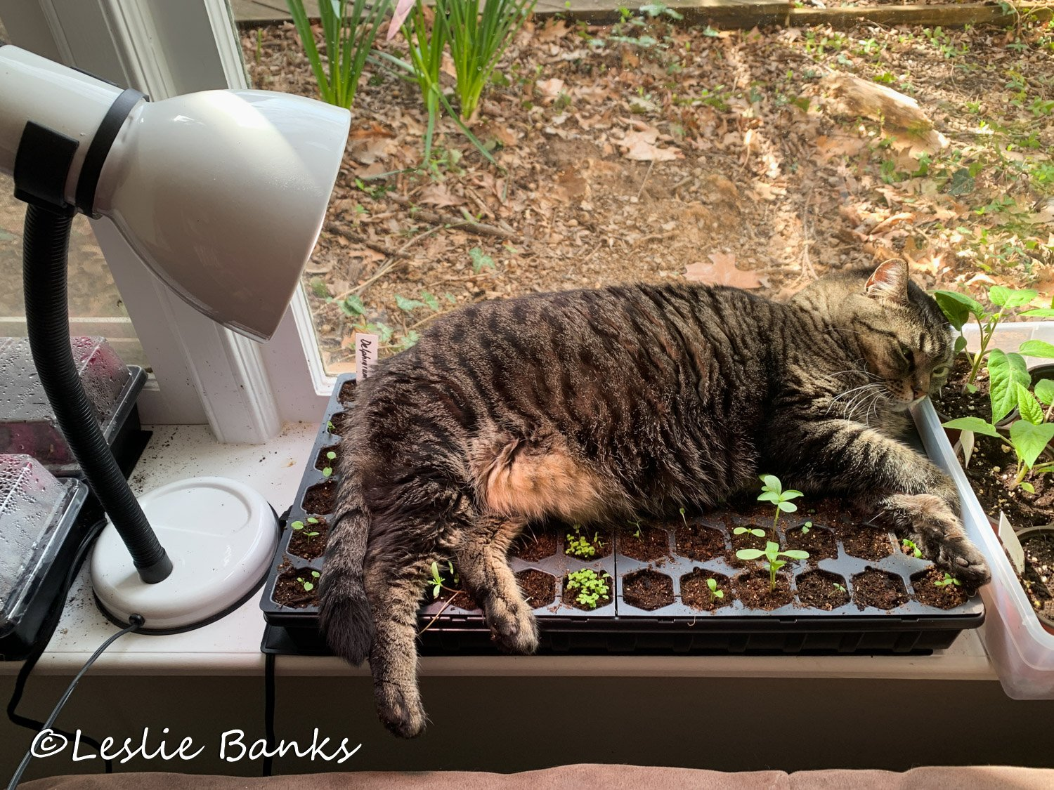 Cat Napping on Seedling Trays