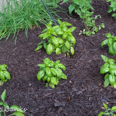 Attempting to Grow Basil Again