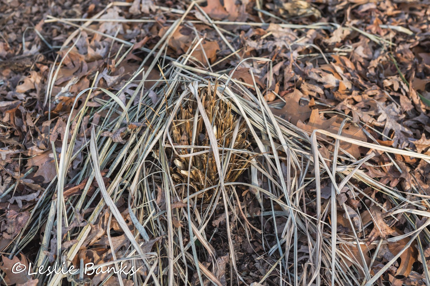 Lemon Grass in Winter