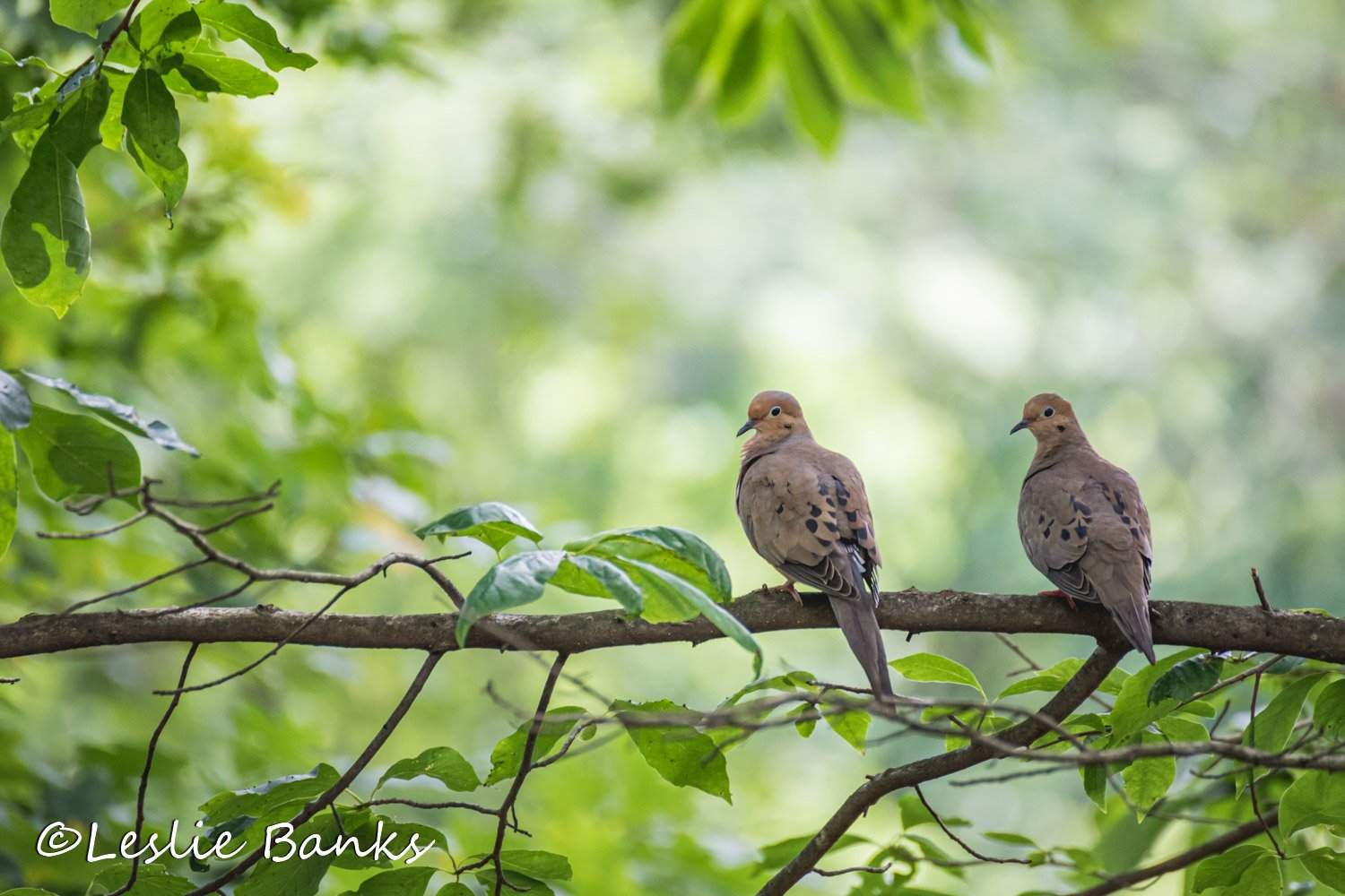 Mating Mourning Doves
