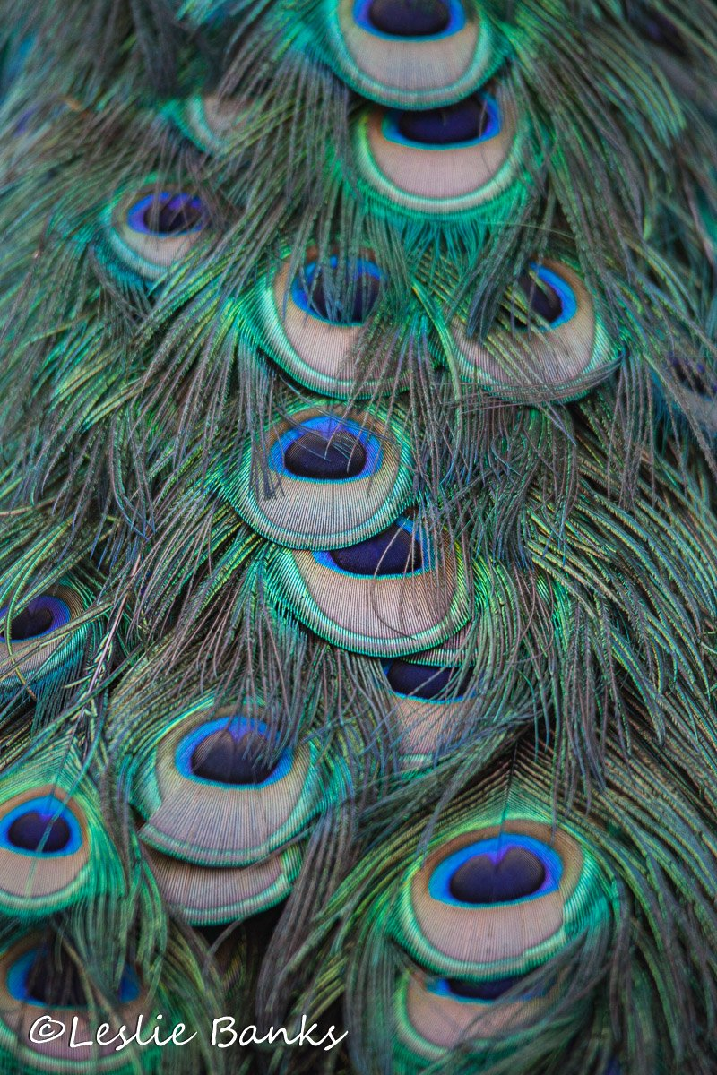 Close up of peacock feathers
