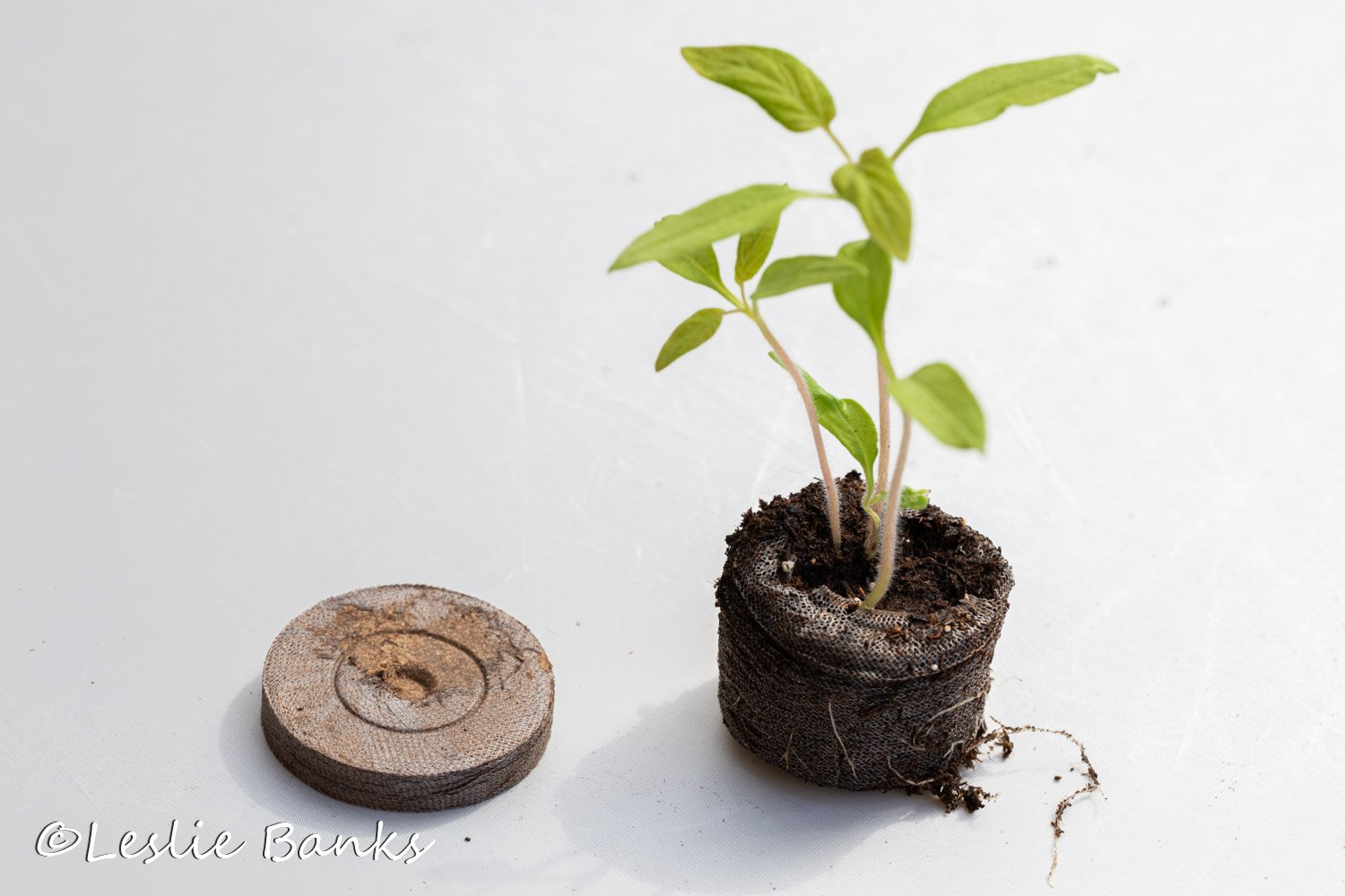 Tomato Seedlings in a Peat Pellet