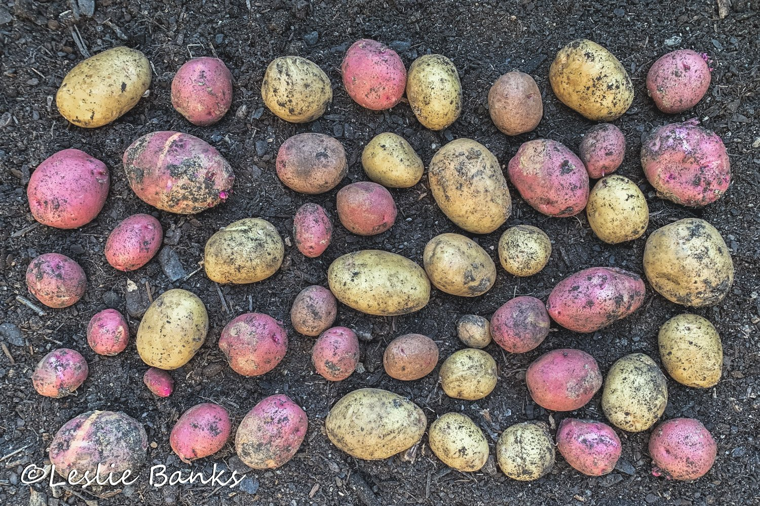 Red and Yellow Potato Harvest