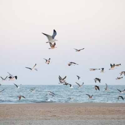 Seagull Army at Ocean City, MD