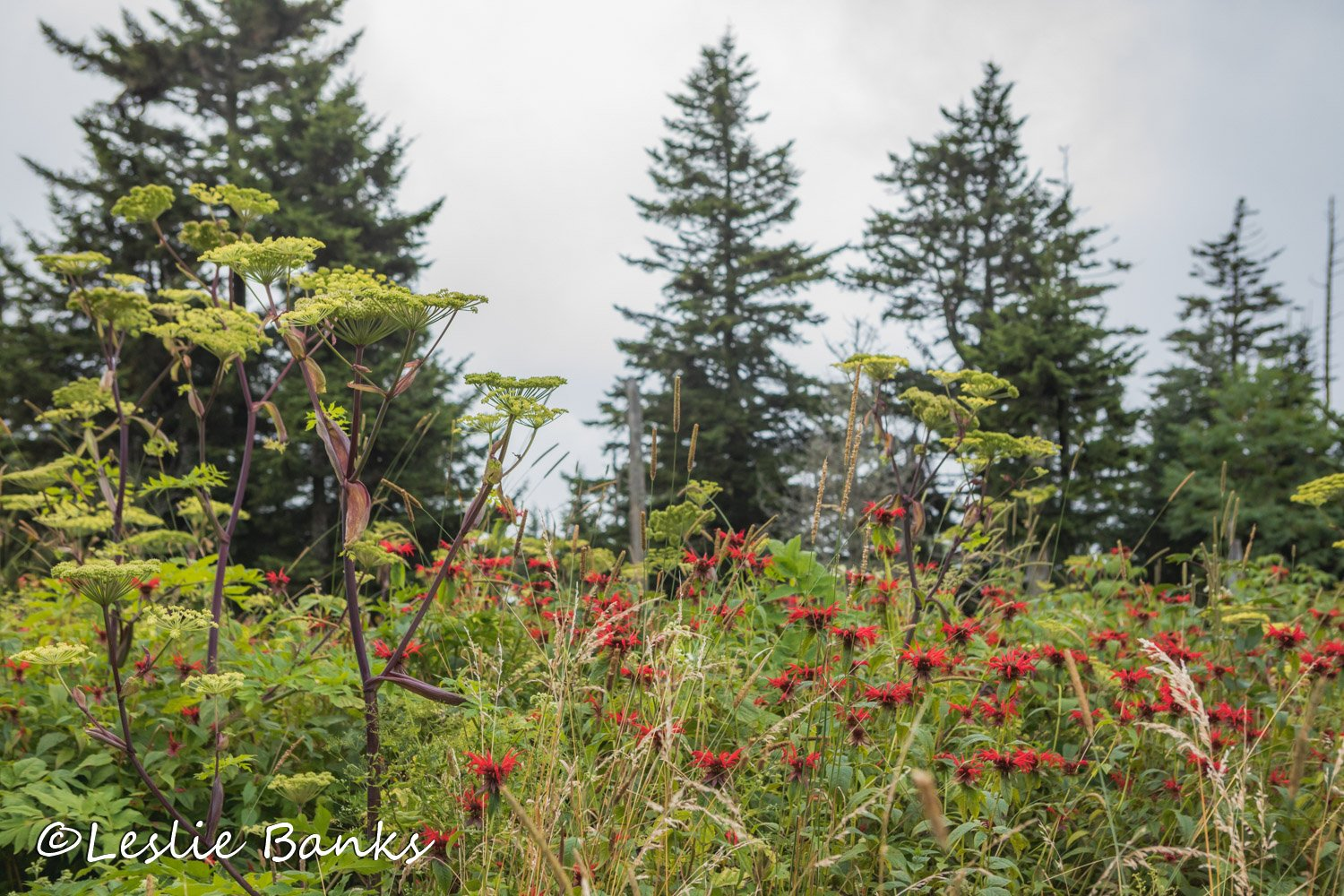 Wildflowers at Clingmans Dome