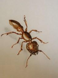 Common Ant