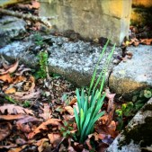 Daffodils getting ready to bloom on her grave