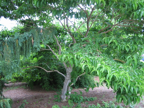 tree heptacodium m 'full'