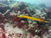 Trumpetfish, Pemba