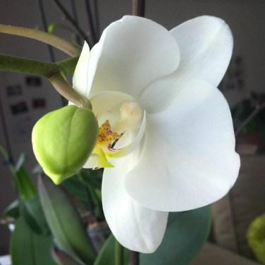 Mon orchidée m'a offert sa première fleur :)