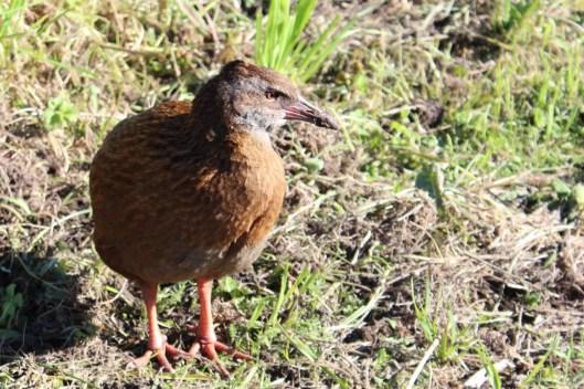 Nouvelle Zélande - Cape Foulwind - les lubies de louise (20 sur 21)