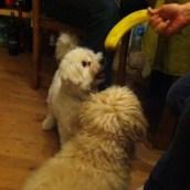 Les chiens ont la banane !