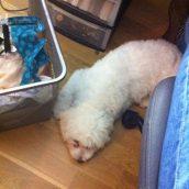 Pas très pratique de coudre lorsque l'on a son chien dans les pattes