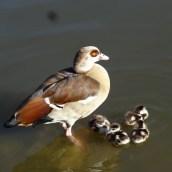 La famille canards est de sortie
