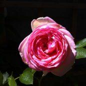 En admiration devant ma rose