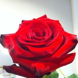 Jolie rose ♥