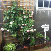 Mon joli rosier ♥