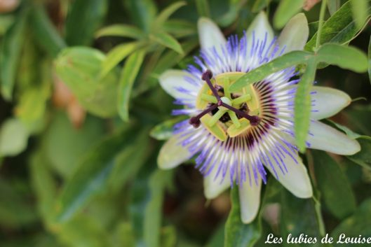 2016-08-25- Centaurée fleurie- les lubies de louise-31