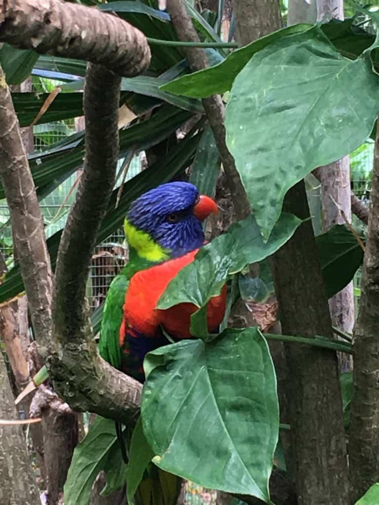 jardin-botanique-deshaies-guadeloupe-basse terre-nature-animaux-loriquet