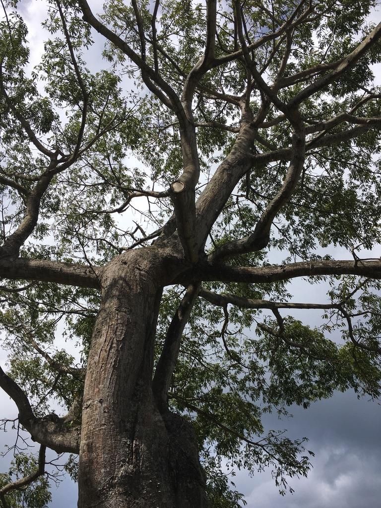 jardin-botanique-nature-fleur-caraibes-guadeloupe-basse terre-arbre-immense