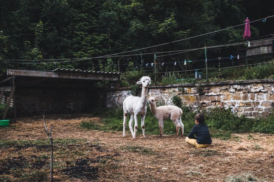 Rencontre avec des alpagas dans une ferme des Ardennes